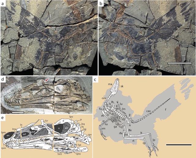 dinosavr-caihong2.jpg (103.62 Kb)