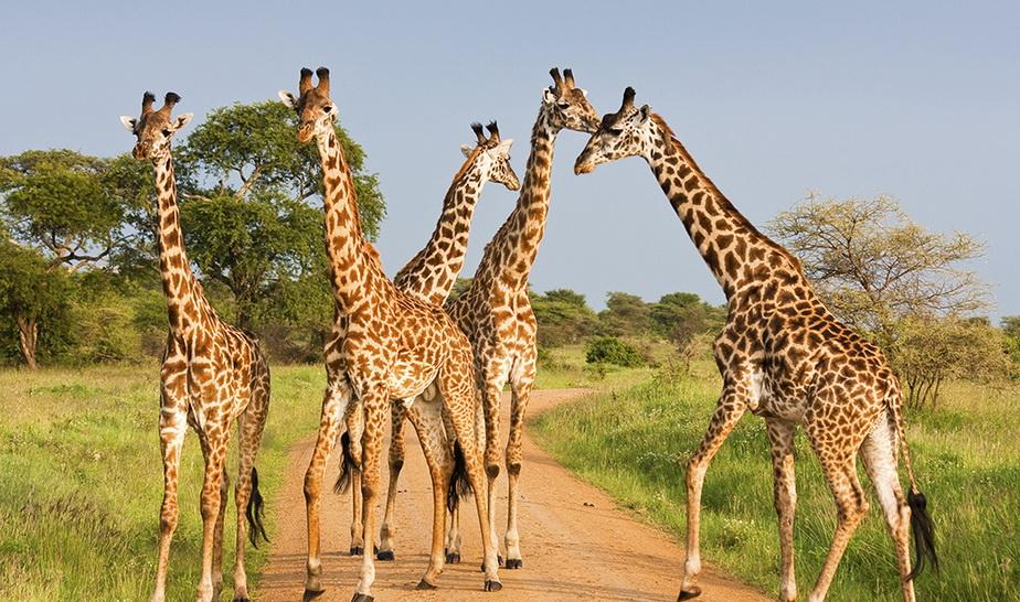 giraffes6.jpg (294.89 Kb)