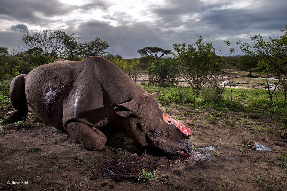 Знімок жорстоко вбитого носорога – найкраще фото дикої природи у 2017 році (+16 ФОТО)