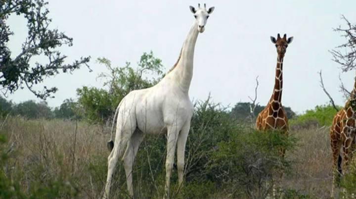 У світі залишився лише один білий жираф